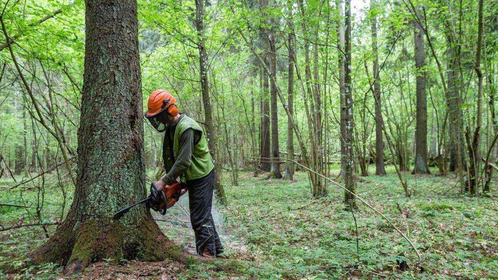 Польща неприпинить вирубування дерев у Біловезькій пущі