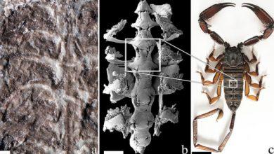 Photo of Вчені виявили решткинайдавнішого скорпіона