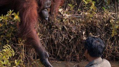 Photo of Орангутанг намагався витягнути чоловіка з річки зі зміями