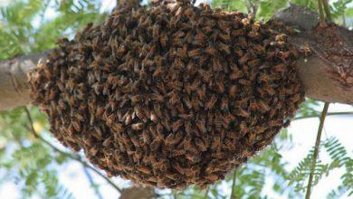 Photo of Через атаку бджіл закрили вулицю в американському місті Пасадена
