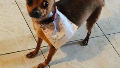 Photo of Хлопець на самоізоляції відправив чихуахуа до універмагу: пес впорався із завданням