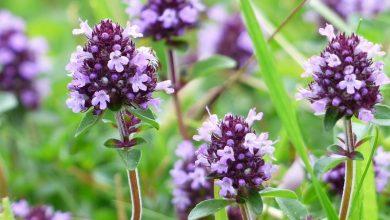 Photo of Тим'ян: дивовижні факти про чудо рослину