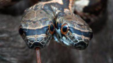 Photo of Рідкісна мутація: показали змію з двома головами