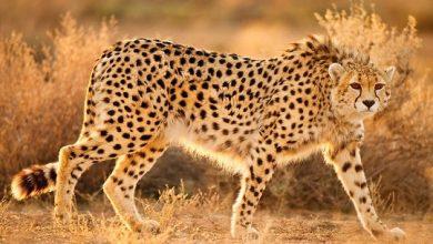 Photo of Найшвидша кішка в світі на межі зникнення: що відомо