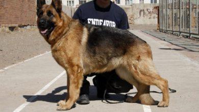 Photo of Збройні сили Австрії вчать собак виявляти коронавірус у людей