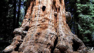 Photo of Вчені у Греції знайшли дерево віком 20 млн років