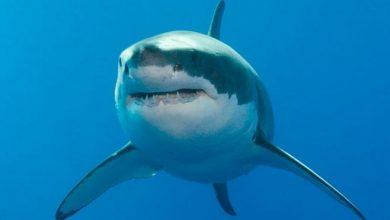 Photo of Австралієць побив акулу, яка напала на його дружину