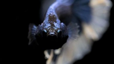 Photo of Вчені виявили глибоководних риб-невидимок