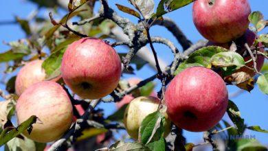 Photo of Лікувальна сила яблук: в чому їх користь та як краще вживати