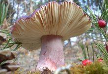 Photo of Як відрізнити отруйні гриби від їстівних: головні секрети