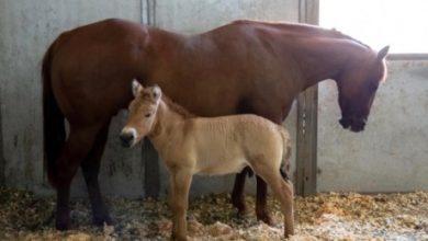 Photo of Вчені клонували коня Пржевальського