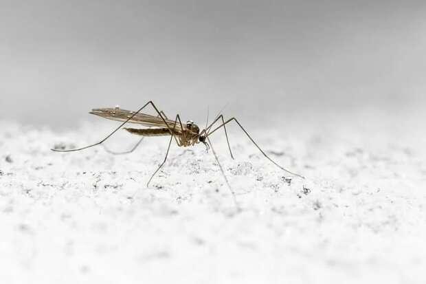 В Антарктиді з'явилися комарі