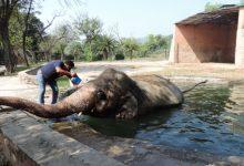 """Photo of У Камбоджі """"найсамотніший слон у світі"""" отримав нову домівку (ФОТО)"""