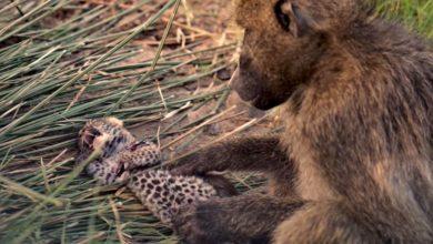 Photo of Мавпа всиновила дитинча леопарда: відео